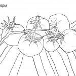 Раскраски помидоры