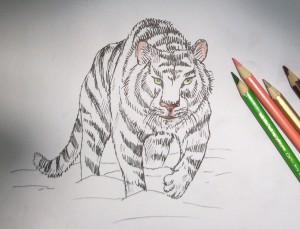 kak_narisovat_tigra9