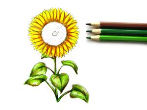 нарисовать подсолнух карандашом