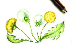 как нарисовать одуванчик карандашом
